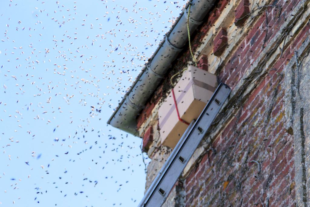 Un essaim sur le toit de la Mairie de Saint-Eloi-de-Fourques