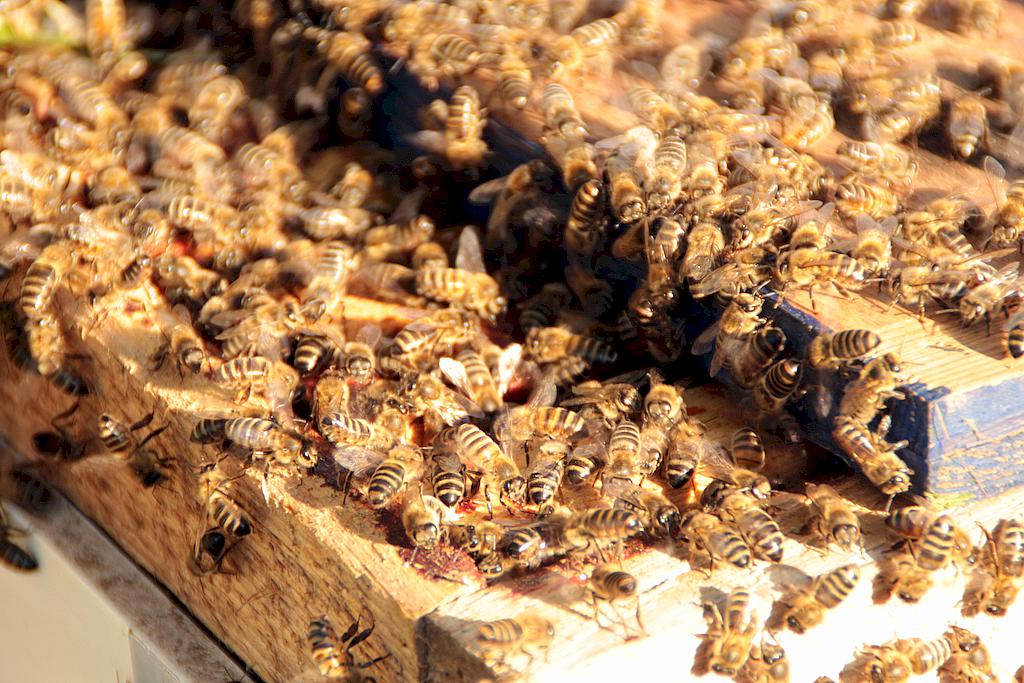 L'essaim d'abeilles a migré dans la ruchette !