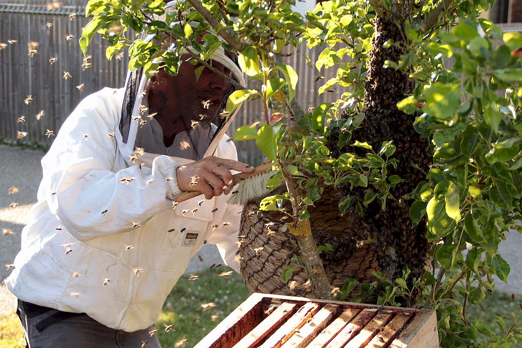 Bruno Lheureux en train de chasser les abeilles et leur reine vers la ruchette